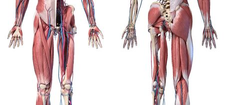 Human Anatomy,  Limbs and hip skeletal, muscular and cardiovascular systems, with sub layers muscles. front anche rear views, on white background. 3d Illustration
