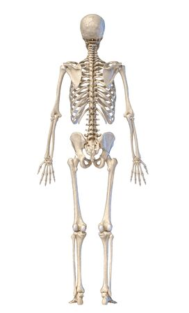 Human anatomy, skeletal system, full figure standing, back view on white background. 3d illustration.