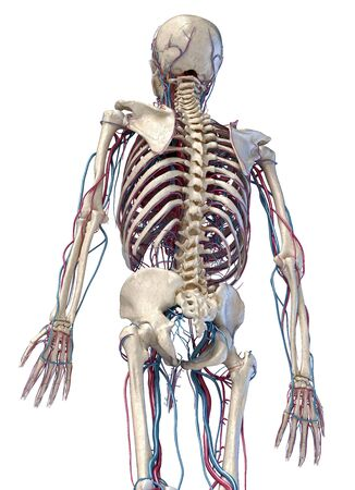 Human anatomy, 3d illustration of the skeleton with cardiovascular system. Perspective view of 34 upper part, back side. On white background. Reklamní fotografie