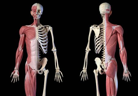 Human male anatomy, 34 figure muscular and skeletal systems, front and back views on black background. 3d anatomy illustration. Reklamní fotografie