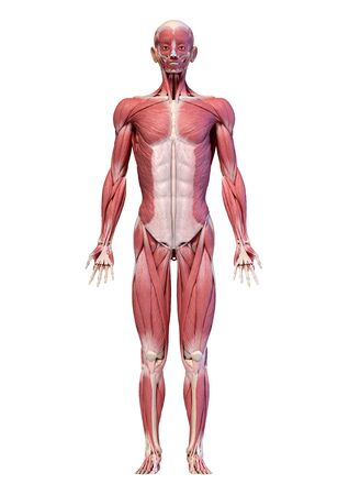 Human anatomy 3d illustration, male muscular system full body, frontal view. On white background.