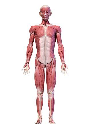 Ilustración 3d de anatomía humana, cuerpo completo del sistema muscular masculino, vista frontal. Sobre fondo blanco.