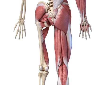 Human male anatomy, limbs and hip muscular and skeletal systems, with internal muscle layers. Back view. on white background. 3d anatomy illustration.