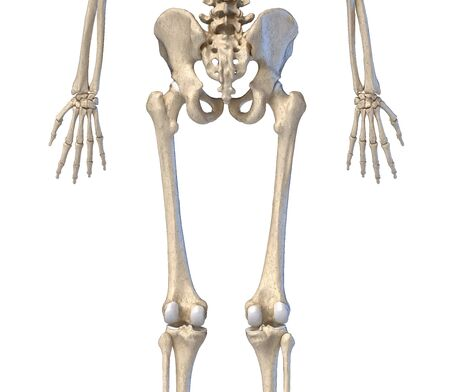 Human Anatomy, hip, limbs and hands skeletal system. Back view. On white background. 3d illustration.