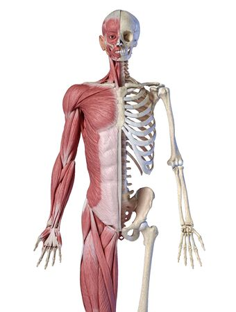Human male anatomy, 34 figure muscular and skeletal systems, front view on white background. 3d anatomy illustration.