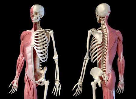 Human male anatomy, 34 figure muscular and skeletal systems, front and back perspective views. on black background. 3d anatomy illustration.