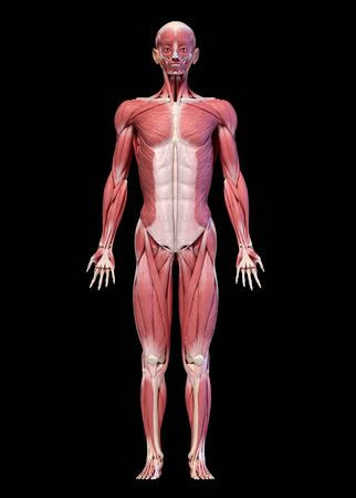 Human anatomy 3d illustration, male muscular system full body, frontal view. On black background.