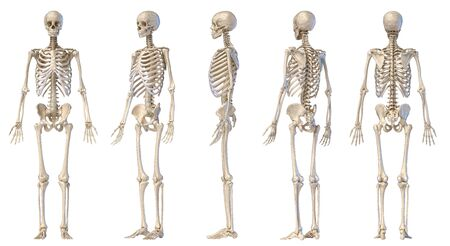 Human Anatomy full body male skeleton. Five views. Perspective, Front rear and side on white background. 3d illustration.