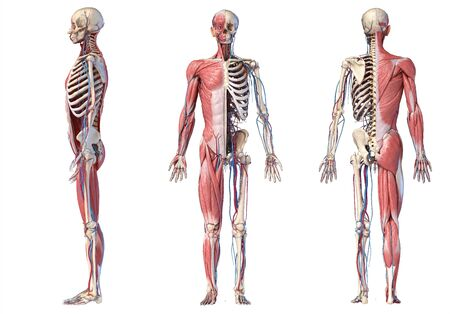 Human Anatomy full body skeletal, muscular and cardiovascular systems. Three views, side, front, back, on white background. 3d Illustration Stockfoto