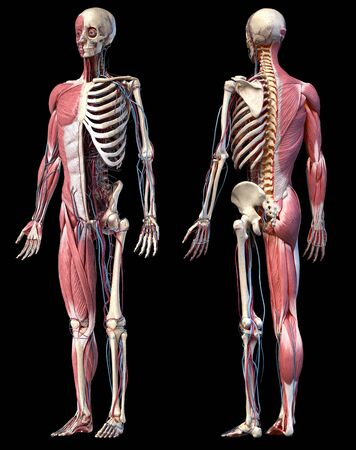 Human Anatomy full body skeletal, muscular and cardiovascular systems. Two views, front and back perspectives, on black background. 3d Illustration Stockfoto