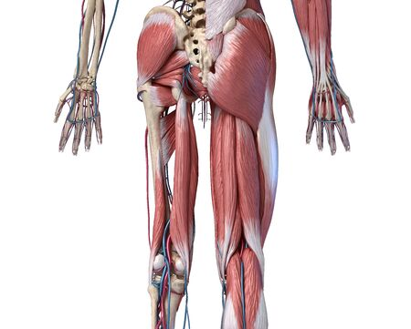 Human Anatomy,  Limbs and hip skeletal, muscular and cardiovascular systems, with sub layers muscles. back view, on white background. 3d Illustration