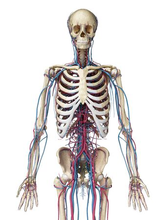 Human body anatomy. 3d illustration of 3/4 Skeletal and cardiovascular systems. Viewed from the front. On white background.