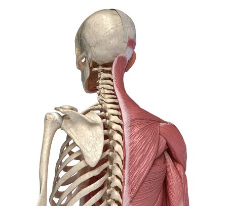 Human body, torso skeletal and muscular systems, back perspective view  on white background. 3d anatomy illustration.