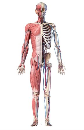 Human Anatomy full body skeletal, muscular and cardiovascular systems. Front view, on white background. 3d Illustration