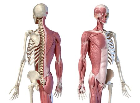 Human male anatomy, 34 figure muscular and skeletal systems, back and front perspective views. on white background. 3d anatomy