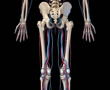 Human body anatomy. 3d illustration of Hip, legs and hands skeletal and cardiovascular systems. Viewed from the back. On black background.