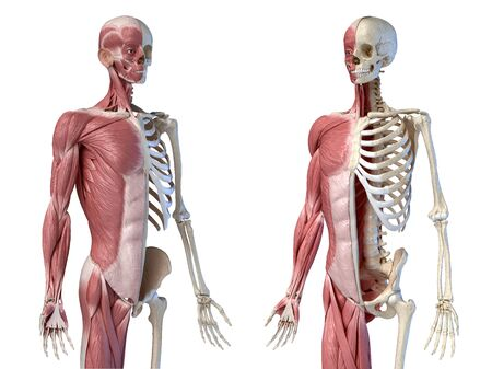 Human male anatomy, 34 figure muscular and skeletal systems, two frontal perspective views. on white background. 3d anatomy illustration. Reklamní fotografie