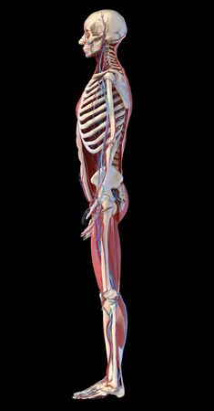 Human Anatomy full body skeletal, muscular and cardiovascular systems. Side view, on black background. 3d Illustration Foto de archivo - 130760066