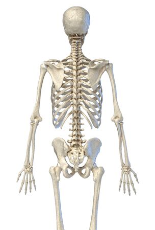Human anatomy, 34 bone skeletal system. Back view. On white background. 3d illustration. Reklamní fotografie