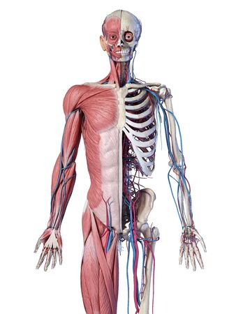 Human Anatomy 34 body skeletal, and cardiovascular systems. Front view, on white background. 3d Illustration Stockfoto