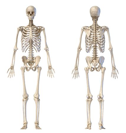 Human Anatomy full body male skeleton. Front and rear views on white background. 3d illustration.
