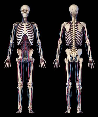Human body anatomy. 3d illustration of Skeletal and cardiovascular systems. Two views, front and back. On black background. Foto de archivo - 130760072