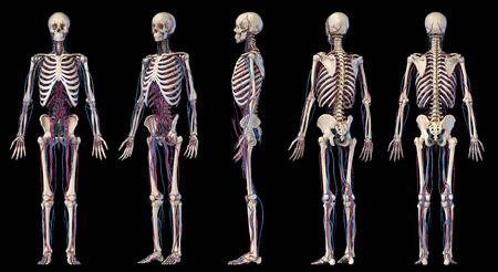 Human body anatomy. 3d illustration of Skeletal and cardiovascular systems. Multiple angles views. On black background. Foto de archivo - 130760075