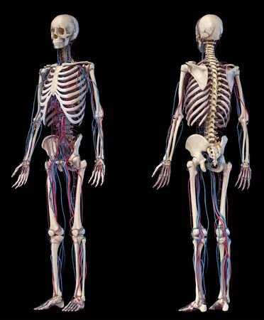 Human body anatomy. 3d illustration of Skeletal and cardiovascular systems. Front and back perspective views. On black background. Foto de archivo - 130760076
