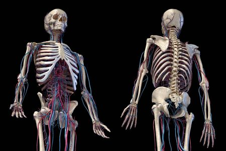 Human anatomy, 3d illustration of the skeleton with cardiovascular system. Perspective view of 34 upper part, front and back sides. On black background.