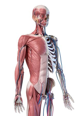 Human Anatomy 34 body skeletal, muscular and cardiovascular systems. Perspective view from the front, on white background. 3d Illustration. Stockfoto