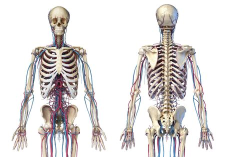 Human body anatomy. 3d illustration of 3/4 Skeletal and cardiovascular systems. Viewed from the front and back. On white background. 3d Illistration.