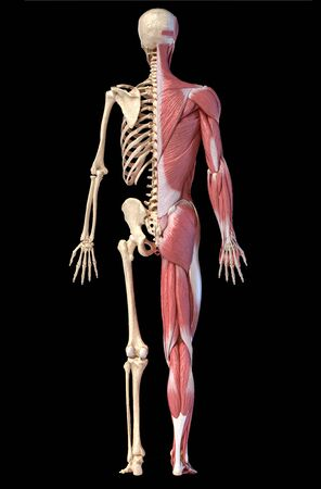 Human body, 3d illustration. Full figure male muscular and skeletal systems, rear view on black background. Reklamní fotografie