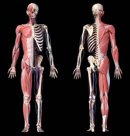 Sistema esquelético, muscular y cardiovascular de cuerpo completo de la anatomía humana. Dos vistas, anverso y reverso, sobre fondo negro. Ilustración 3d Foto de archivo