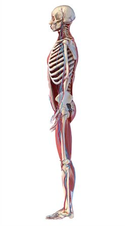 Human Anatomy full body skeletal, muscular and cardiovascular systems. Side view, on white background. 3d Illustration