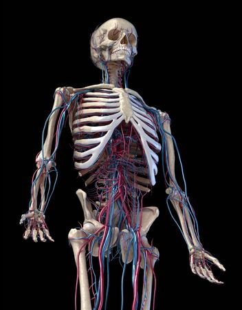 Human anatomy, 3d illustration of the skeleton with cardiovascular system. Perspective view of 34 upper part, front side. On black background.