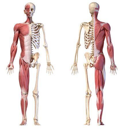 Menschlicher Körper, 3D-Darstellung. Vollfigurige männliche Muskel- und Skelettsysteme, Vorder- und Rückansichten auf weißem Hintergrund.