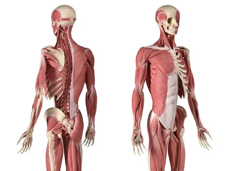 Human male anatomy, 34 figure muscular and skeletal systems, with internal muscle layers. Back and front perspective views. on white background. 3d anatomy illustration. Reklamní fotografie