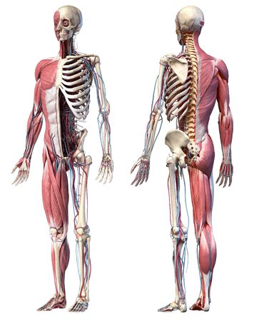 Human Anatomy full body skeletal, muscular and cardiovascular systems. Two views, front and back perspectives, on white background. 3d Illustration Stockfoto