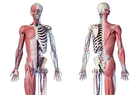 Human Anatomy 34 body skeletal, muscular and cardiovascular systems. Front and back views, on white background. 3d Illustration