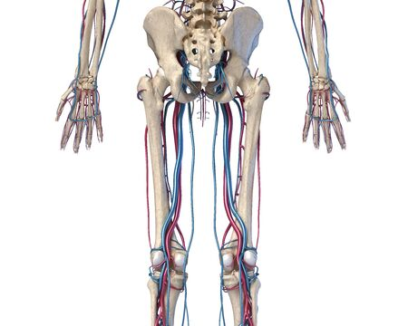 Human body anatomy. 3d illustration of Hip, legs and hands skeletal and cardiovascular systems. Viewed from the back. On white background.