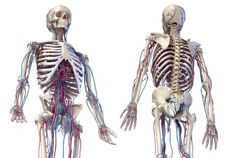 Human anatomy, 3d illustration of the skeleton with cardiovascular system. Perspective view of 34 upper part, front and back sides. On white background.