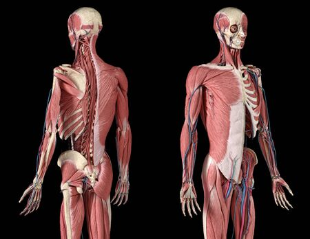 Human Anatomy 34 body skeletal, muscular and cardiovascular systems, with sub layers muscles. Perspactive Front and back views, on black background. 3d Illustration