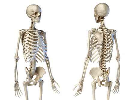 Human Anatomy 34 body male skeleton. Perspective Front and rear views on white background. 3d illustration.