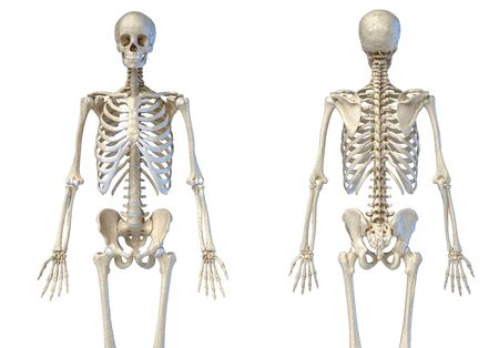 Human Anatomy 34 body male skeleton. Front and rear views on white background. 3d illustration.