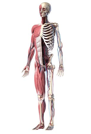 Human Anatomy full body skeletal, muscular and cardiovascular systems. Perspective view from the front, on white background. 3d Illustration