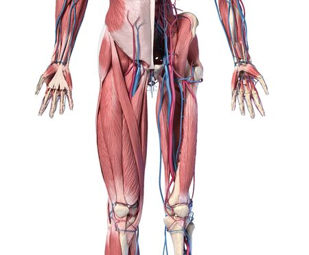 Human Anatomy,  Limbs and hip skeletal, muscular and cardiovascular systems, with sub layers muscles. front view, on white background. 3d Illustration