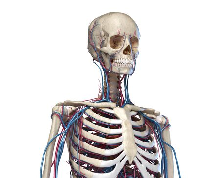 Human anatomy. Skeleton of the torso with veins and arteries. Front perspective view. On white background. 3d illustration. Reklamní fotografie