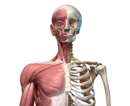 Human body, torso skeletal and muscular systems, front view on white background. 3d anatomy Reklamní fotografie
