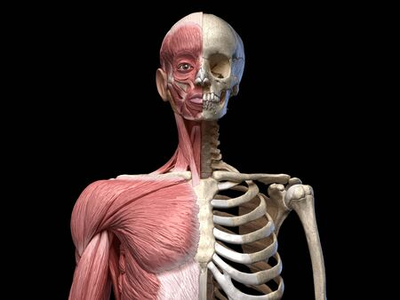 Human body, torso skeletal and muscular systems, front view on black background. 3d anatomy illustration. Reklamní fotografie