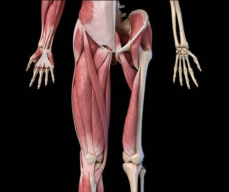 Human male anatomy, limbs and hip muscular and skeletal systems, with internal muscle layers. Front view, on black background. 3d anatomy illustration.